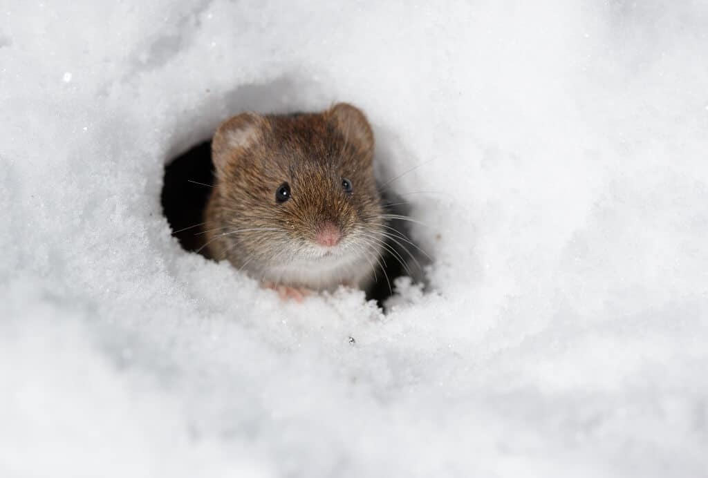 Vole Peaking Out from Hole in Snow